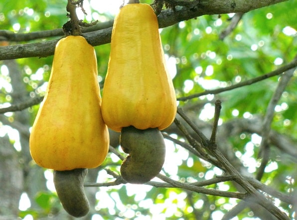 Health Benefits Of Cashew Fruit